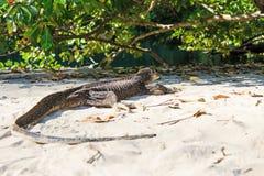 Lézard sur une plage des Philippines, moniteur d'eau de Palawan Photos stock