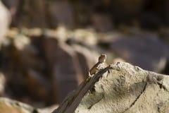 Lézard sur une roche Photos libres de droits