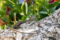 Lézard sur une roche avec les plantes vertes image stock