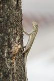 Lézard tropical asiatique grimpant à un arbre Images libres de droits