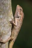 Lézard tropical grimpant à un arbre en Thaïlande photographie stock libre de droits