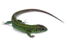 Lézard vert photos stock