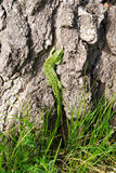 Lézard vert. Image libre de droits