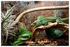 Lézard vert avec une longue queue se tenant sur un morceau de bois photo libre de droits