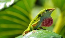 Lézard vert d'Anole Image libre de droits