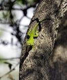 Lézard vert d'Anole Photo libre de droits