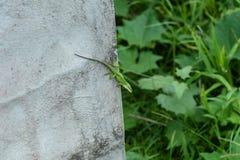 Lézard vert d'anole dans son habitat naturel sur la grande île d'Hawaï photo libre de droits
