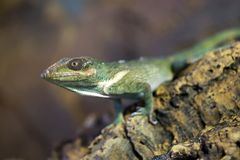 Lézard vert d'anole de chevalier photos libres de droits