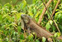 Lézard vert d'iguane Photos stock