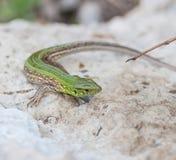 Lézard vert dans la nature photographie stock