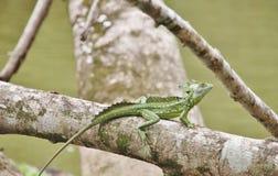 Lézard vert de basilic sur une branche photo libre de droits