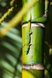 Lézard vert de gecko image stock