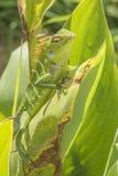 Lézard vert de jardin (Calotes Calotes) dans un jardin, Sri Lanka Photos libres de droits