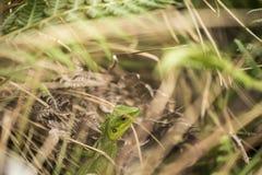 Lézard vert de jardin, Sinharaja Forest Sri Lanka Photo stock