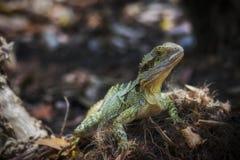 Lézard vert du Queensland sur la garde Photographie stock libre de droits