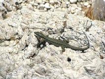 Lézard vert mince prenant un bain de soleil sur une roche en Croatie photos stock