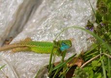Lézard vert oriental masculin se dorant sur la feuille en plastique photographie stock