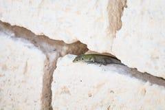 Lézard vert parmi les fissures d'un mur sec blanc images stock