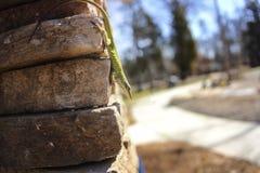 Lézard vert sur un mur de briques Photographie stock libre de droits
