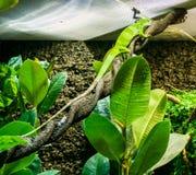 Lézard vert vibrant stupéfiant d'anole se reposant sur portrait animal tordu d'animal familier exotique de reptile de branche d'a photo stock