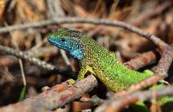 Lézard vert (viridis de lacerta) Photos libres de droits
