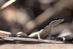Lézards dans le Caatinga du Brésil photographie stock libre de droits