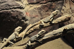 Lézards dans une mini-serre Photos stock