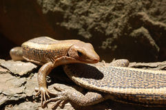 Lézards du Madagascar Photographie stock
