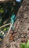 Lézards en Thaïlande Image libre de droits