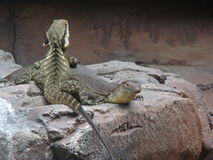 Lézards faisant des amis Photo libre de droits