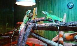 Lézards lumineux photo libre de droits
