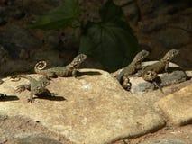 Lézards sur la roche images stock