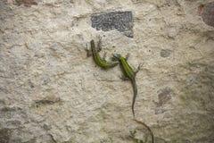 Lézards sur le mur images stock