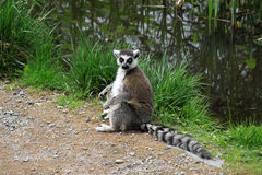 lêmure Anel-atado em um jardim zoológico Imagens de Stock Royalty Free