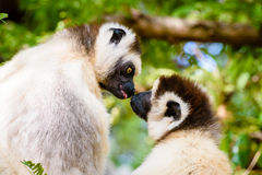 Lêmure de beijo dois Sifaka na árvore Fotografia de Stock Royalty Free