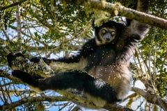 Lêmure de Indri que pendura no dossel de árvore que olha fixamente em nós com seus olhos bonitos Fotos de Stock Royalty Free