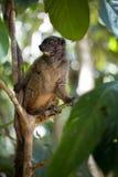 Lêmure de peito branco fêmea, albifrons de Eulemur, olhando o fotógrafo, Mangabe intrometido, Madagáscar Foto de Stock
