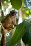 Lêmure de peito branco fêmea, albifrons de Eulemur, olhando o fotógrafo, Mangabe intrometido, Madagáscar Fotografia de Stock