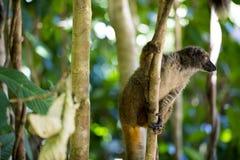 Lêmure de peito branco fêmea, albifrons de Eulemur, olhando o fotógrafo, Mangabe intrometido, Madagáscar Fotos de Stock Royalty Free