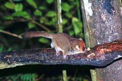 Lêmure do rato de Brown (rufus de Microcebus) em uma floresta tropical Fotografia de Stock