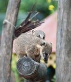 Lêmure dos animais na floresta Imagem de Stock Royalty Free