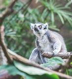 Lêmure, Houston Zoo Fotografia de Stock