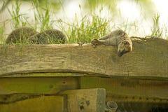 Lêmure que dorme no telhado Foto de Stock Royalty Free