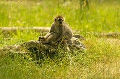 Lêmure que senta-se em uma rocha 2 Fotografia de Stock Royalty Free