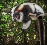 Lêmure ruffed preto e branco de Madagáscar Fotografia de Stock