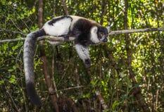 Lêmure ruffed preto e branco de Madagáscar Foto de Stock Royalty Free
