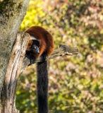 Lêmure ruffed vermelho bonito, rubra de Varecia em um jardim zoológico alemão fotos de stock royalty free