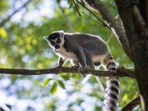 Lêmures de Madagáscar Imagem de Stock Royalty Free