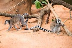 Lêmures de Madagáscar Fotos de Stock