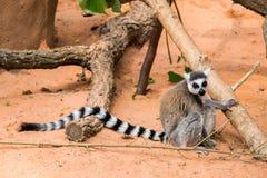 Lêmures de Madagáscar Imagem de Stock